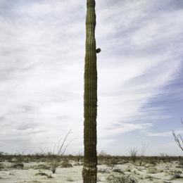 "Mark Klett, ""Saguaro with tire, 2014"" Medium: Inkjet photograph, 24""x36"""